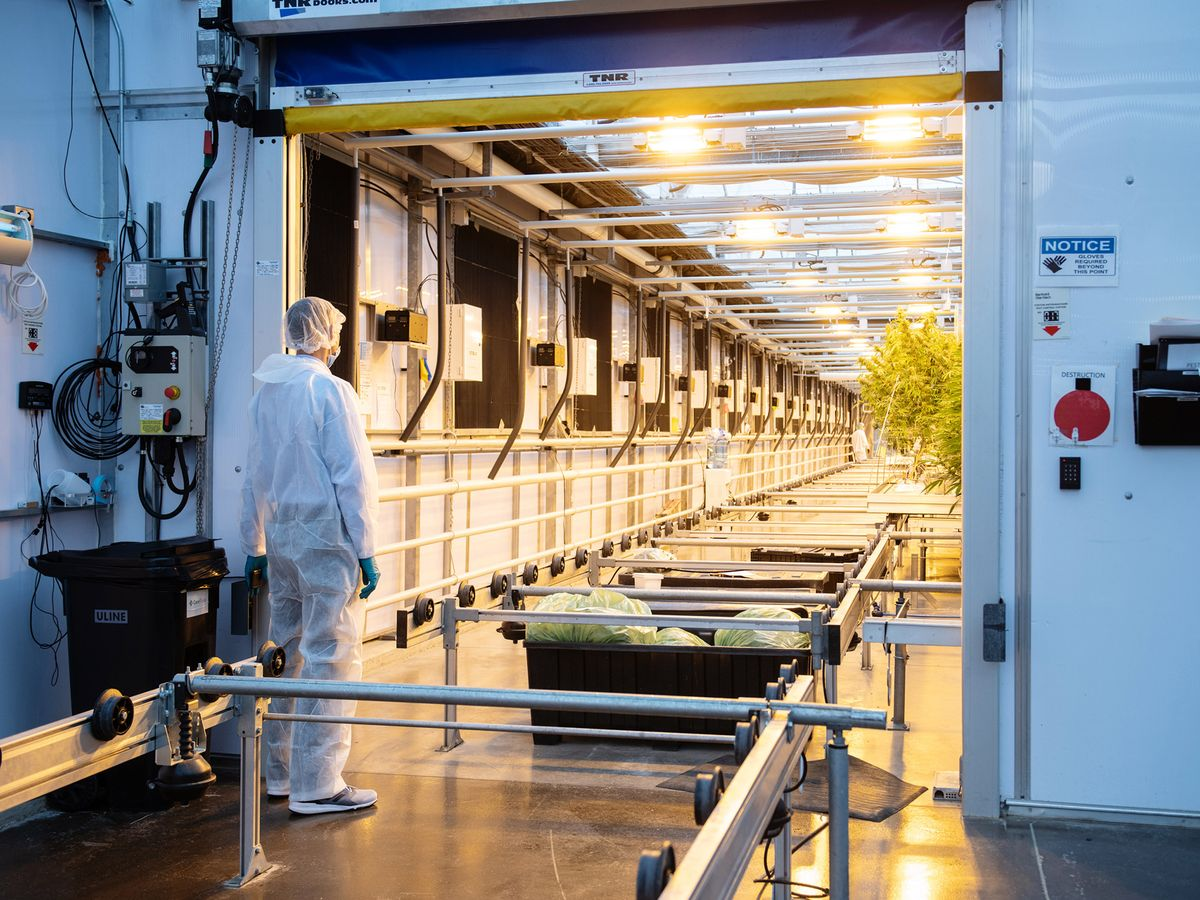 cannabis cleaning conveyor system